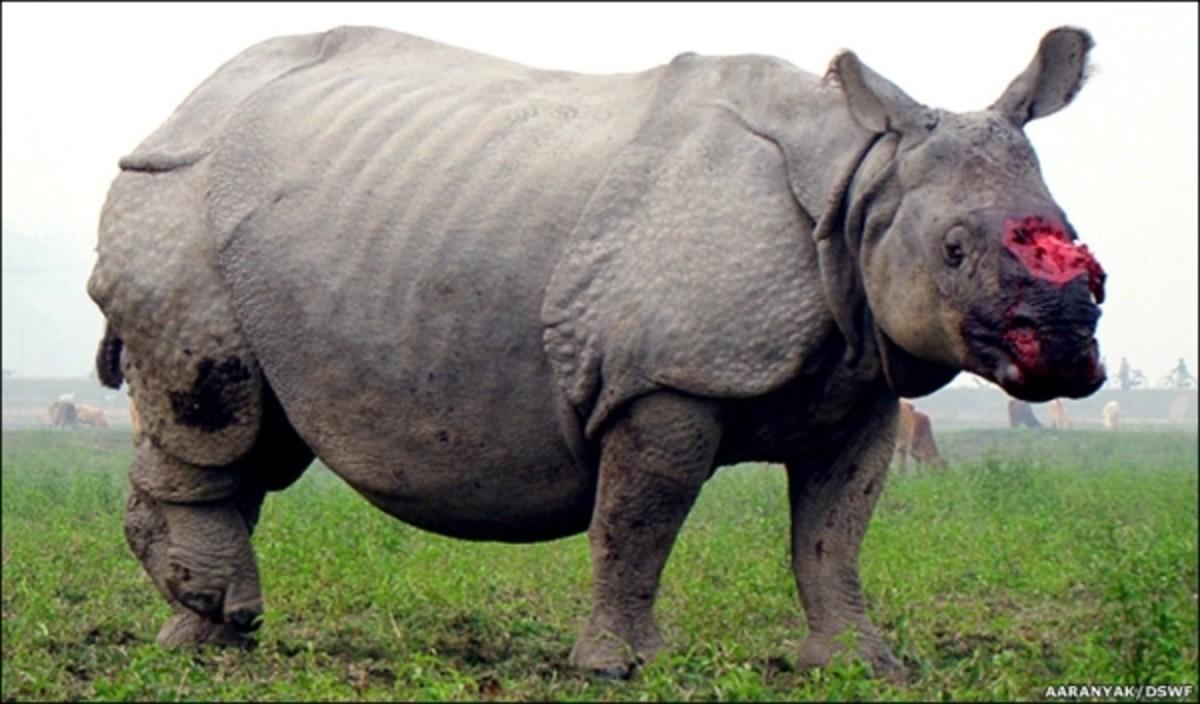 Animal cruelty: Rhino horn poaching in Africa