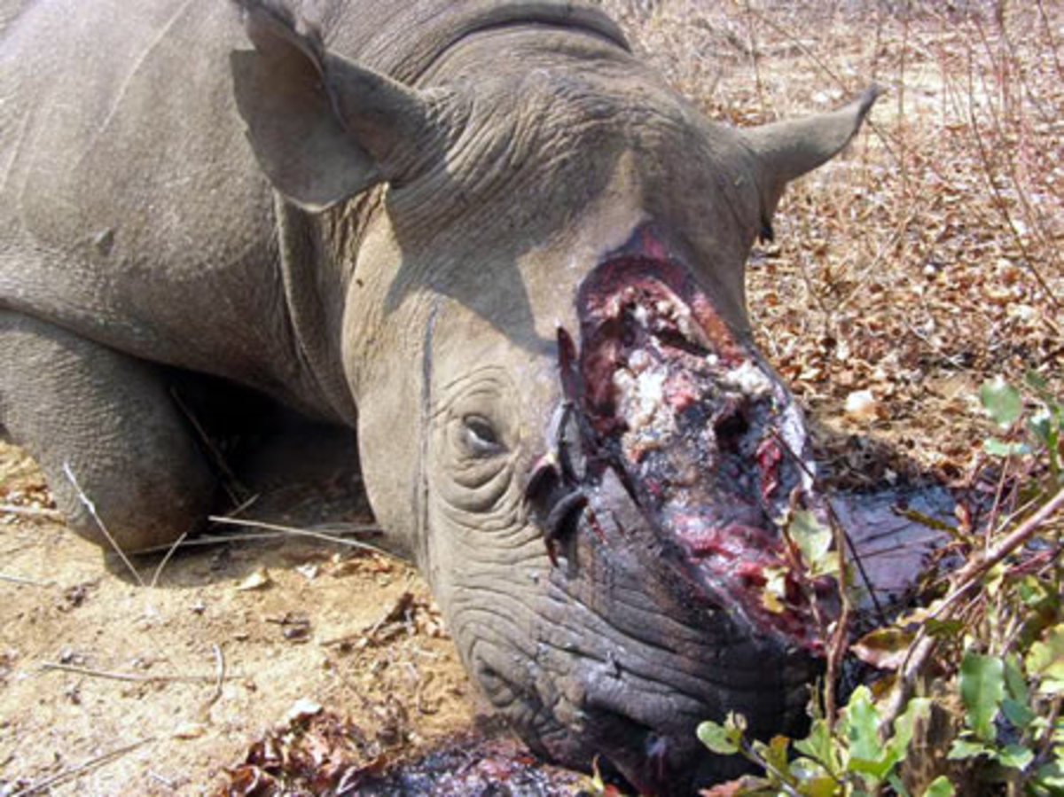 This rhino wasn't so lucky when poachers stole its horn. The animal died