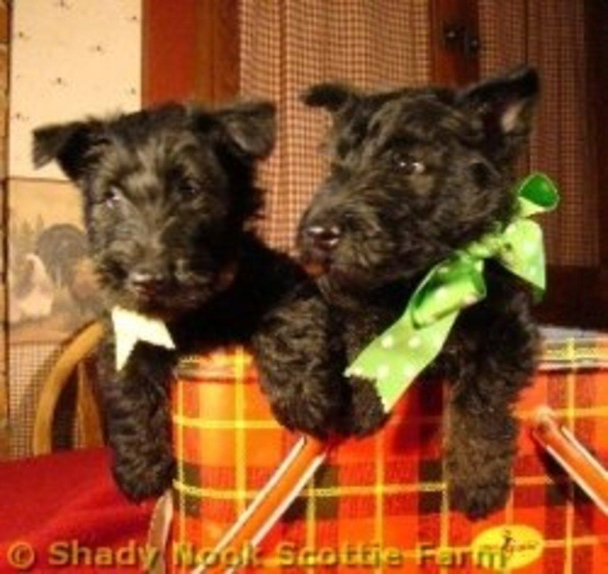 Scottish Terrier Puppies