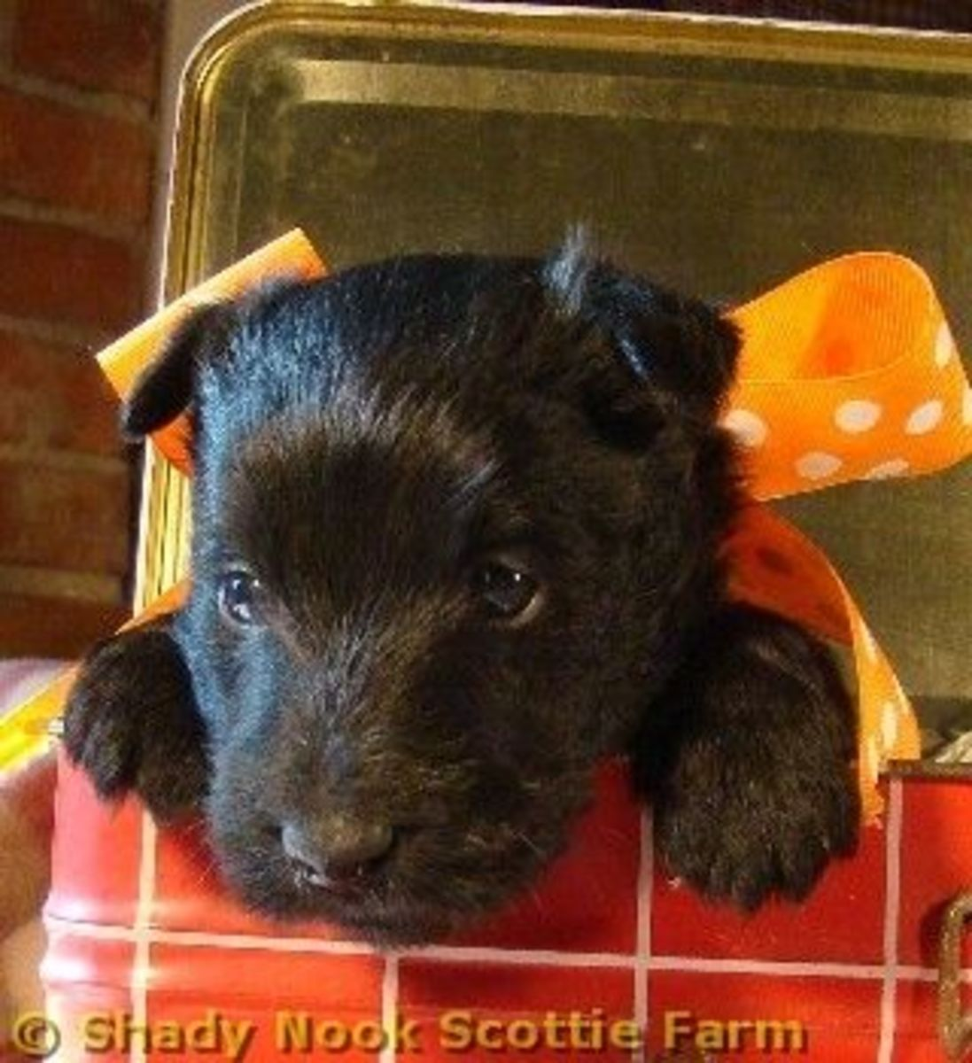 Scottish Terrier Puppy - Our Brodie at 4 Weeks