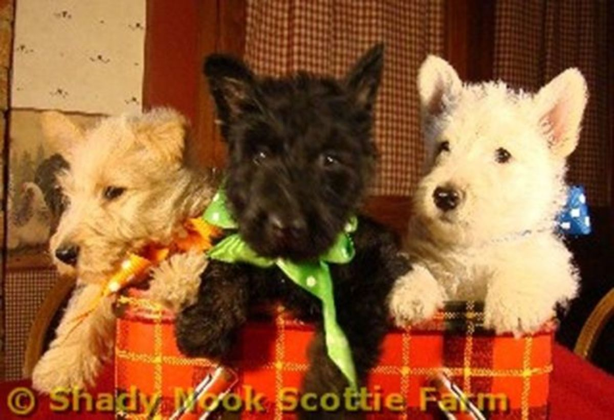 Shady Nook Scottie Farm Scottish Terrier Puppies