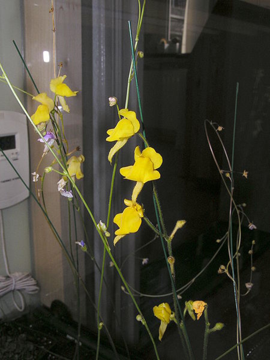Genlisea aurea flower and its photosynthetic stem.