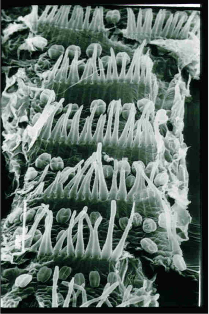 Detail of the hairs inside the eel-trap of Genlisea plants.