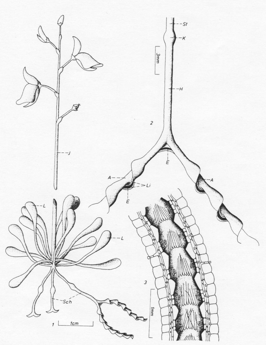 Diagram showing Genlisea plant and its modified eel-trap leaves.