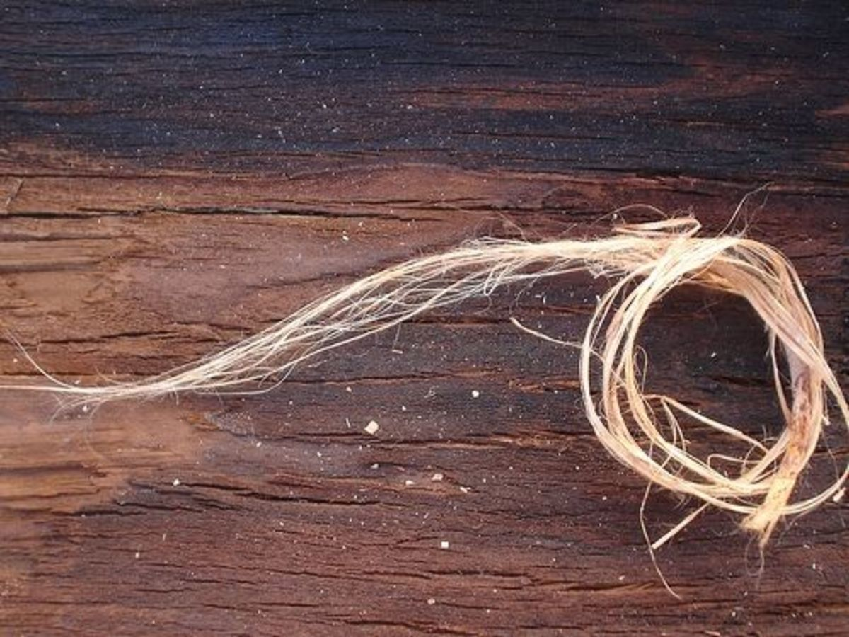 Dogbane fibers, being prepared for cordage