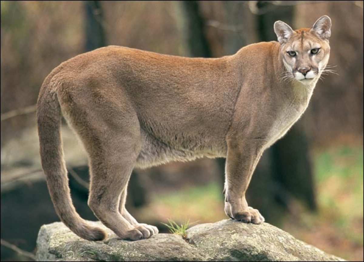 The Cougar, Panther, Puma, or Mountain Lion - America's Second Largest Cat.