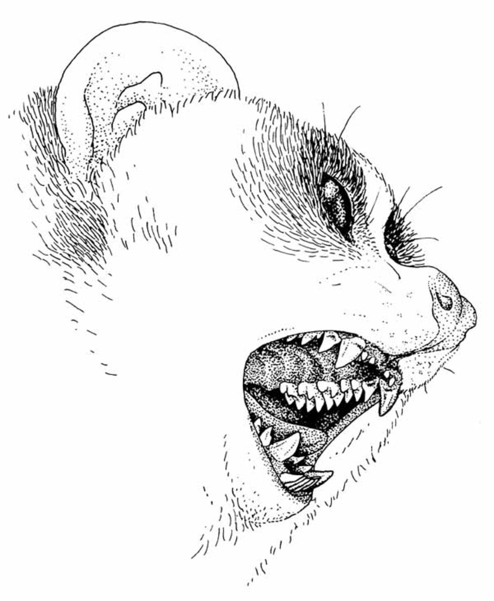 A picture showing the formidable teeth of a slow loris