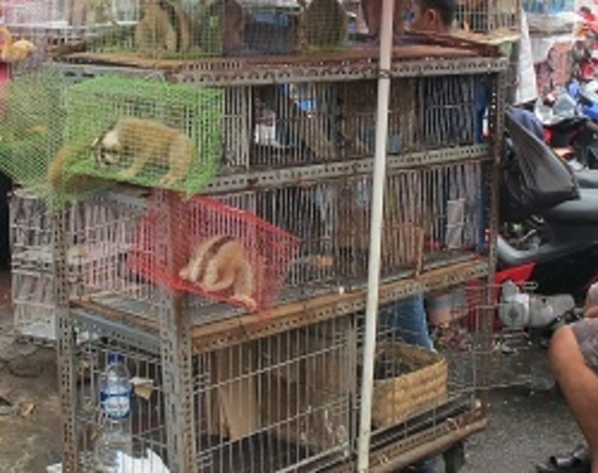 These loris' have been crammed into small cages ready to be sold to the highest bidder.