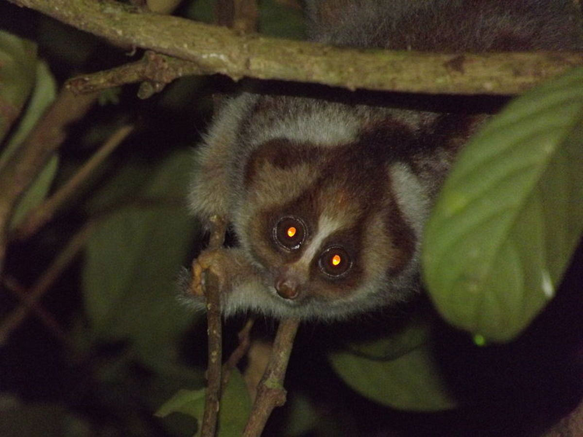 A slow loris, a nocturnal primate in its natural habitat