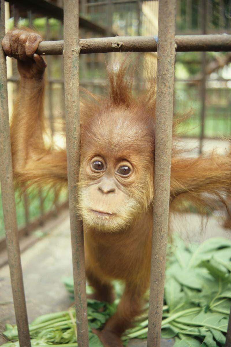 This time, the victim is an even closer relative, a baby orang-Utan.