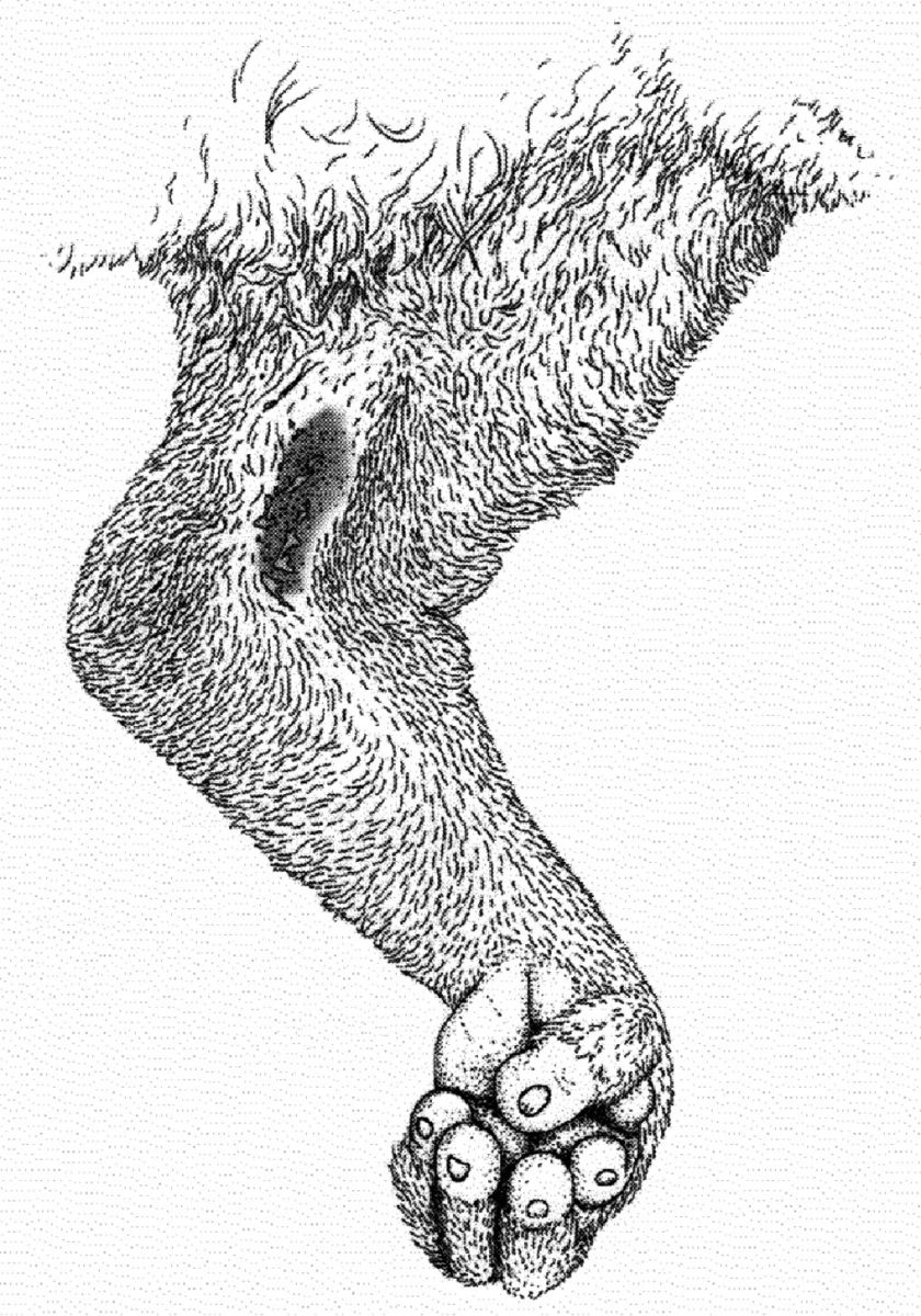 The Brachial Gland (the black area near the elbow) is where the loris secretes its venom which it then mixes with saliva.