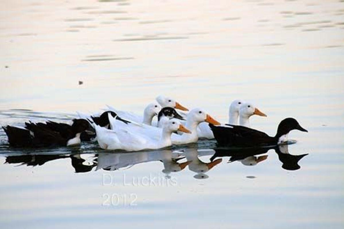 Dumped duck flock
