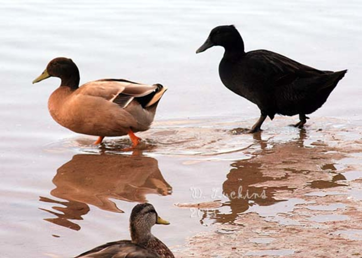 The Cayuga duck on the right didn't deserve to be dumped.  See her story in the module above.