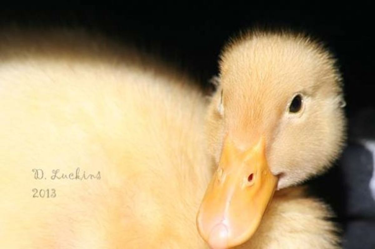 Dumped duckling