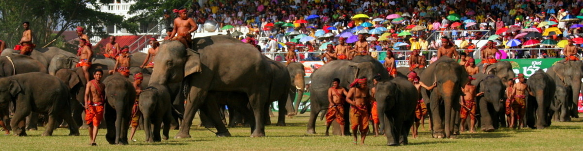 More than 300 elephants take part in Surin Elephant Round Up Festival