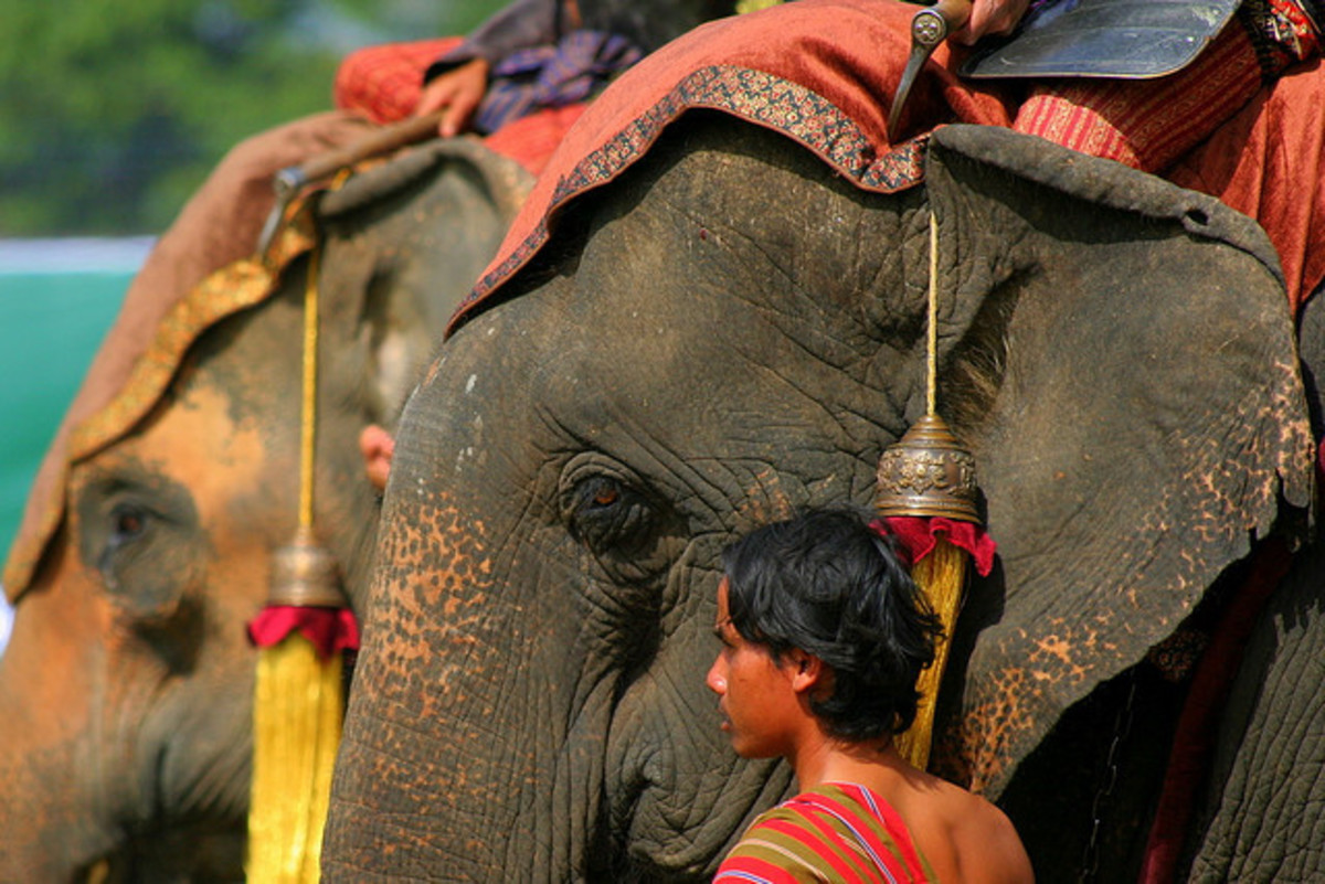 The mahouts, caring for its elephants, during Surin Elephant Round Up