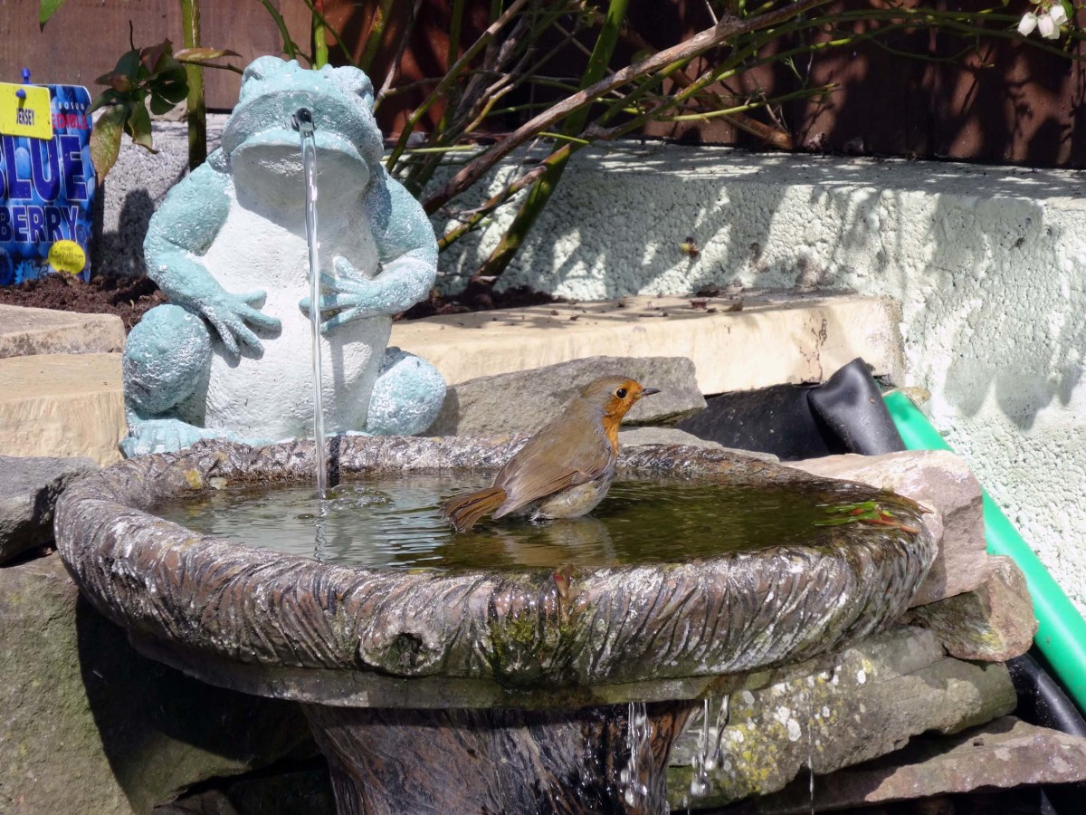 Robin in birdbath in pond