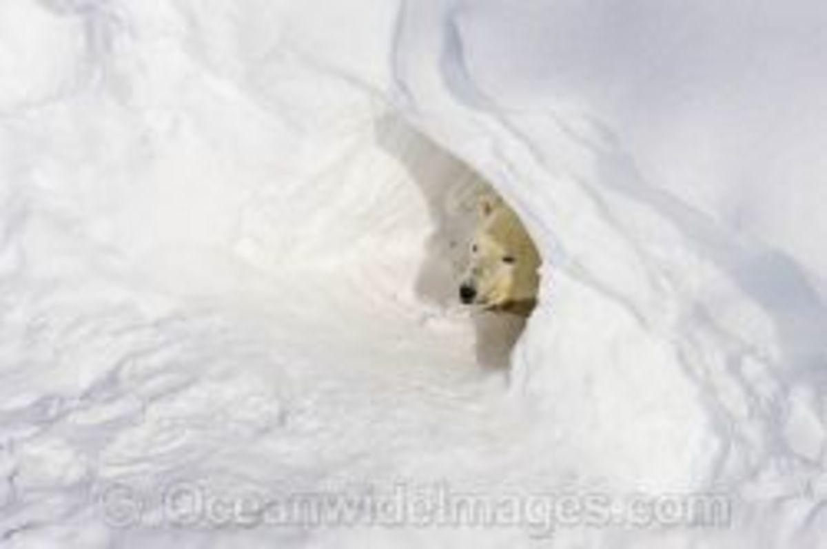 Unique to female polar bears.
