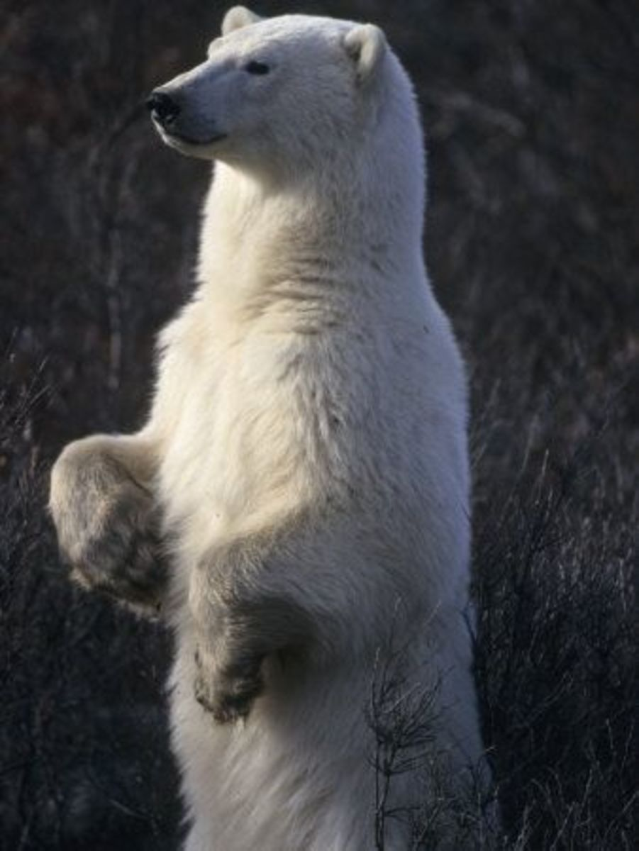 A male polar bear can grow to be ten feet tall and weigh about 1,700 pounds.