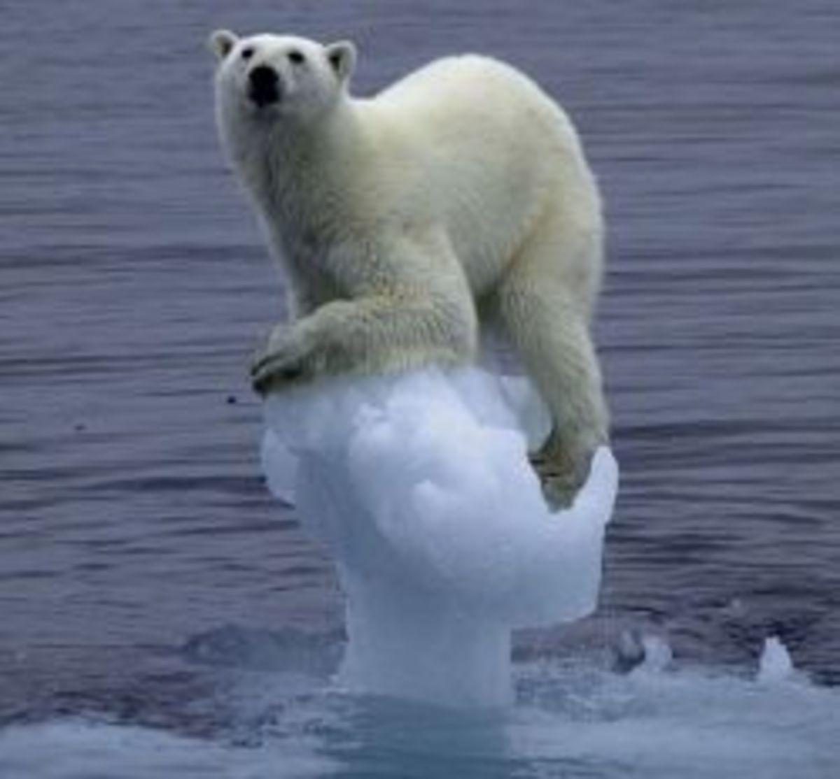 Polar Bear holding on the the last of the ice.
