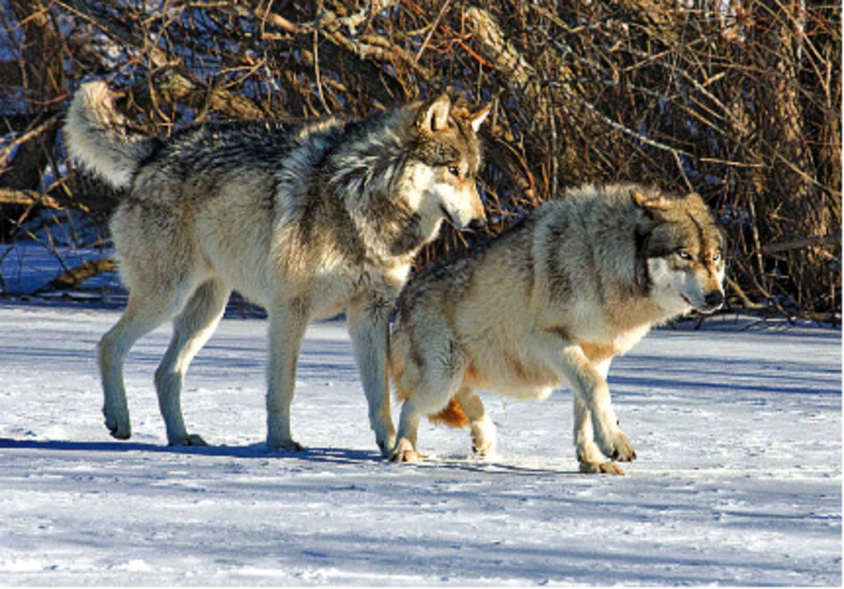 The Beta Wolf using his position to dominate a lower ranked individual. They can be identified by their bold markings, although they are less boldly marked than the Alphas.