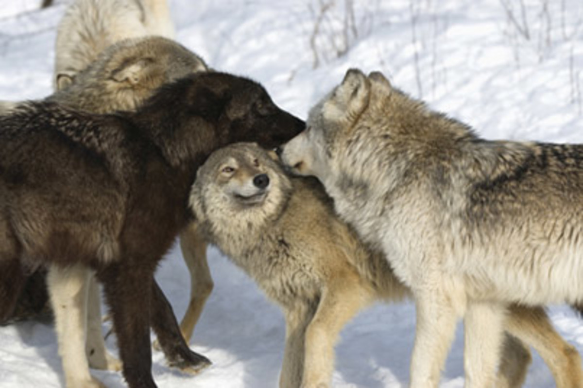The Wolf standing to the right of the Black Wolf adopts a defensive posture, by flattening his ears.