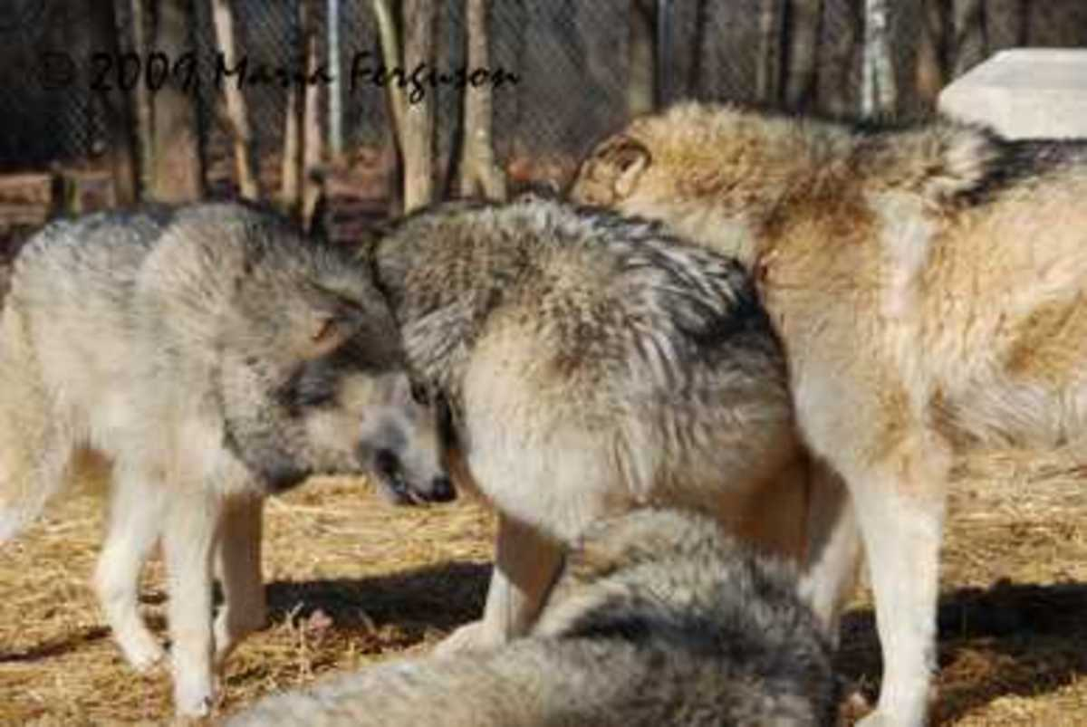Tight knit family bonds are reinforced by frequent rubbing of scent against fellow pack members. They will also groom and play with each other.