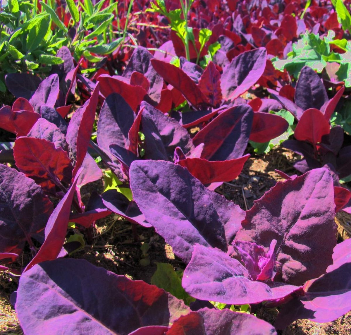growing-purple-passion-spinach