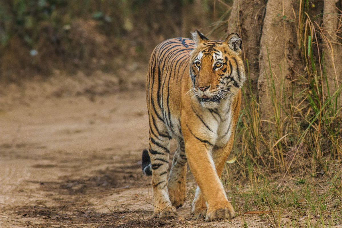 A Royal Bengal Tiger in Jim Corbett Tiger Reserve