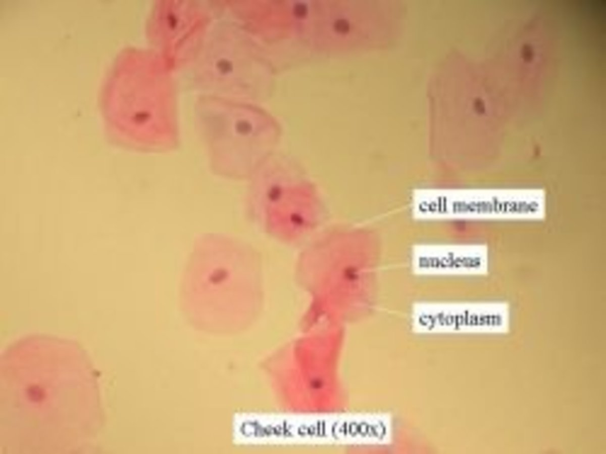 Cheek cells under a microscope magnified 400x