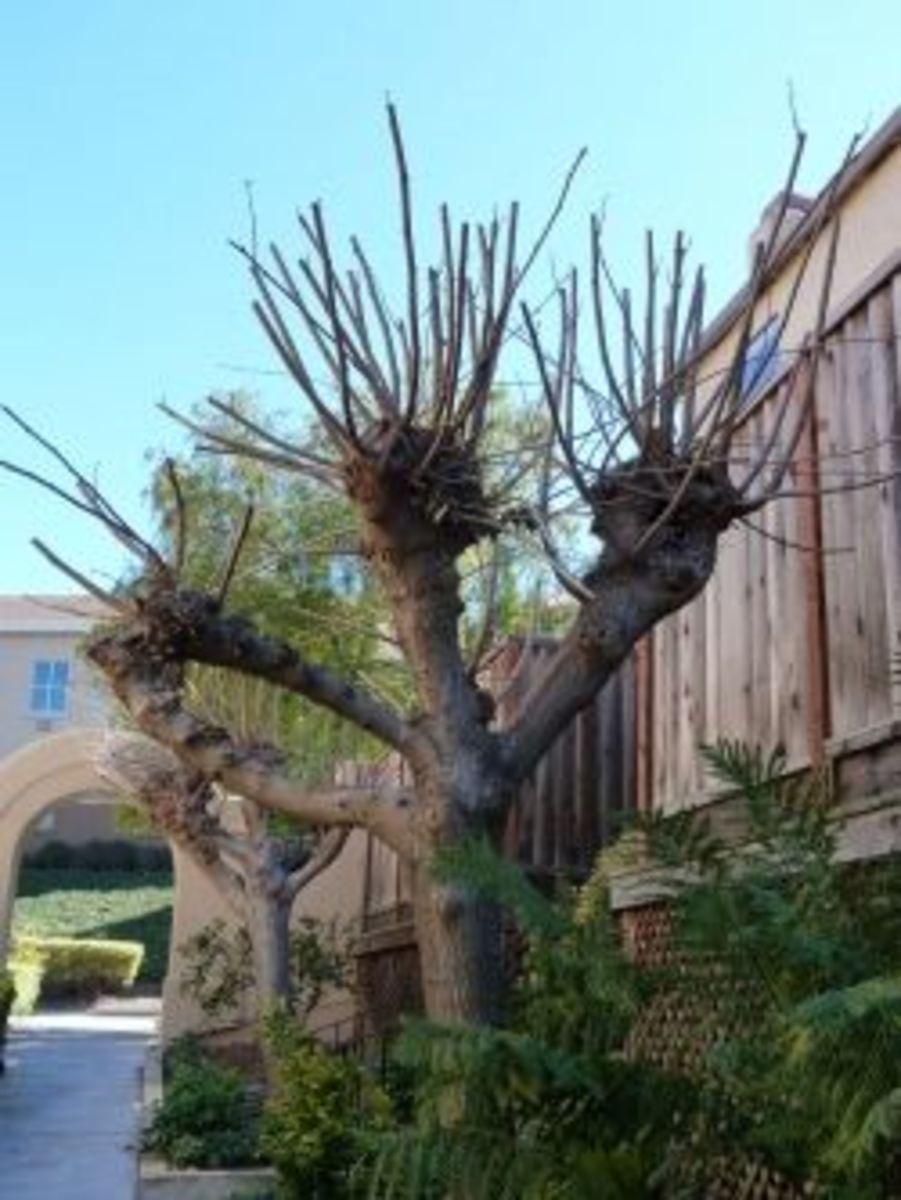 Pollarding Trees