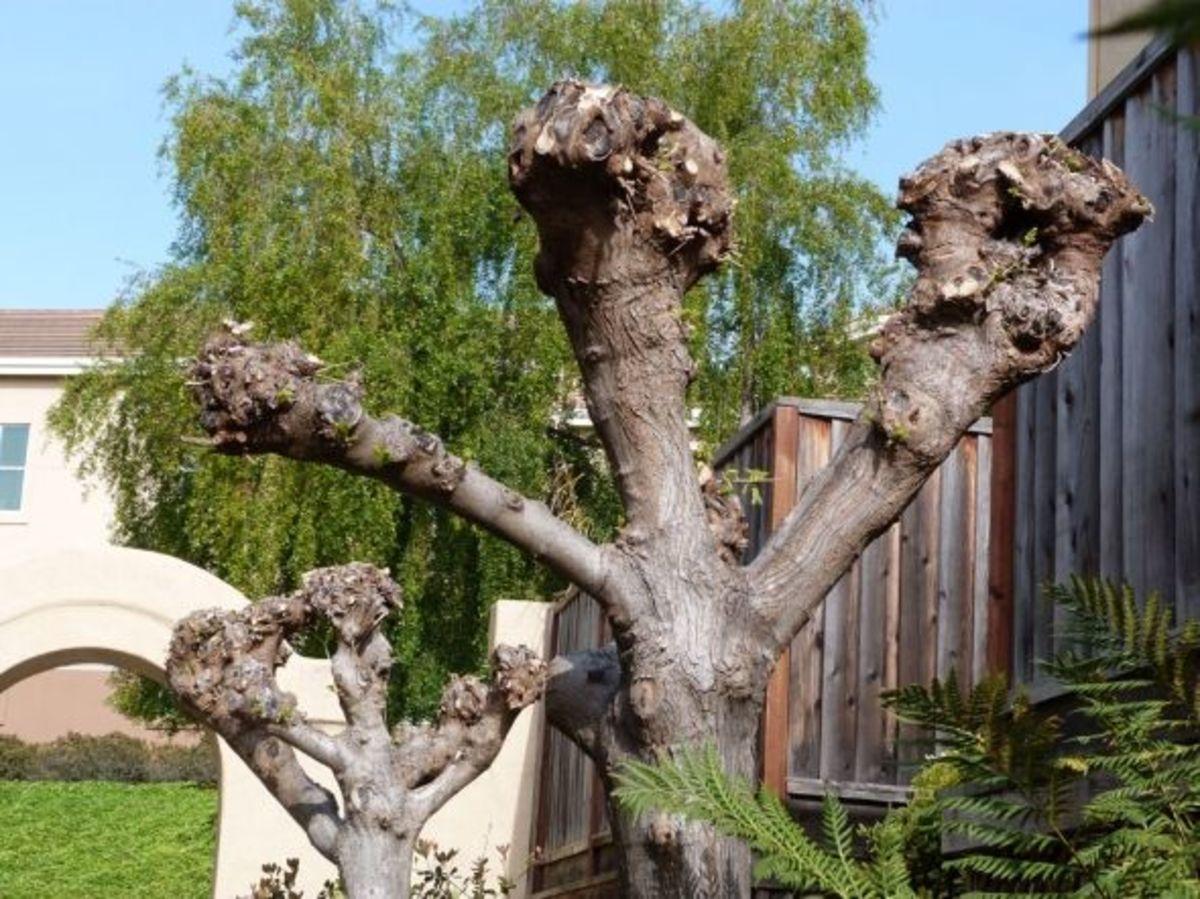 pollarding-trees