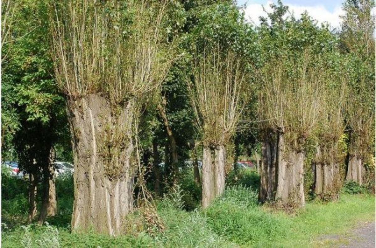 Pollarded trees at Swan Pool, Sandwell Valley, England.