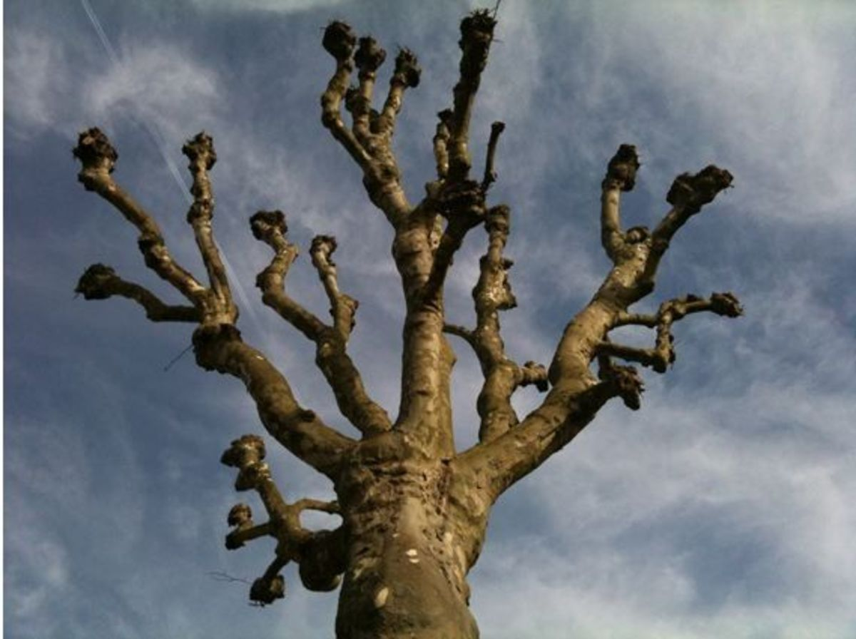 An alien creature? - No, it is a pollard tree.