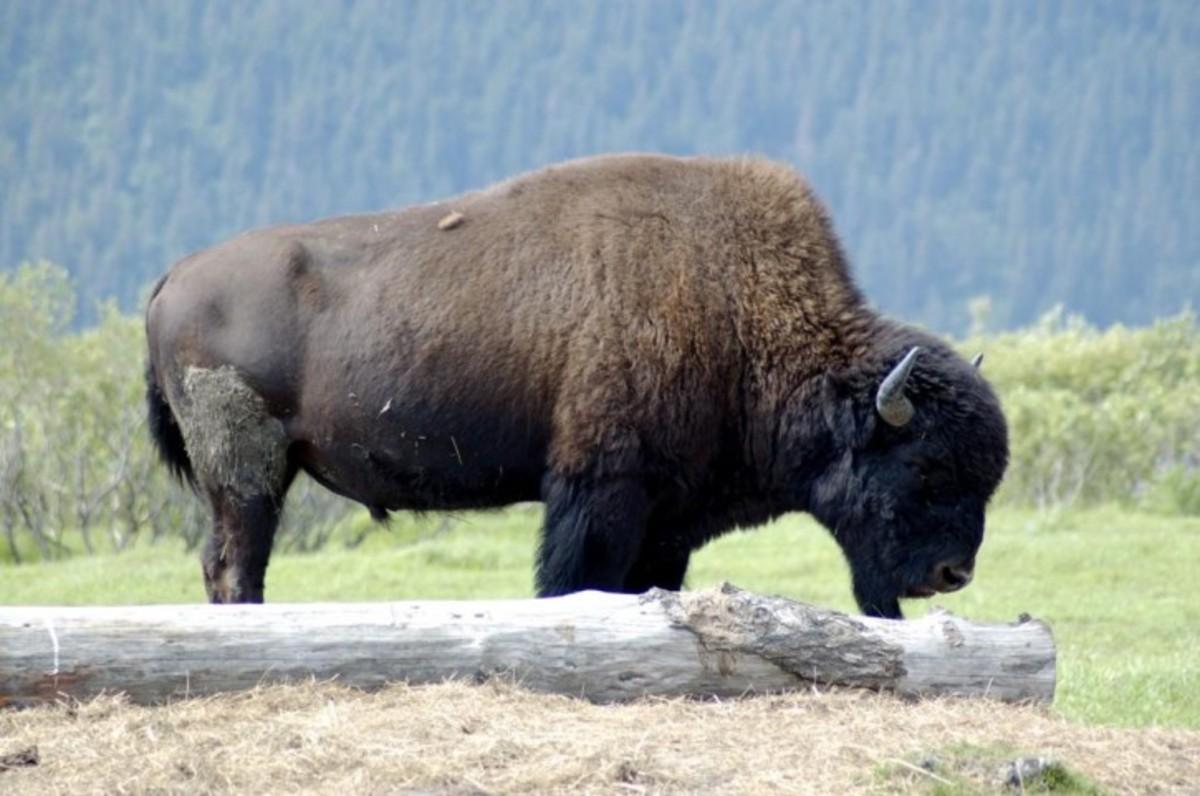 Plains Bison on wildlife preserve.