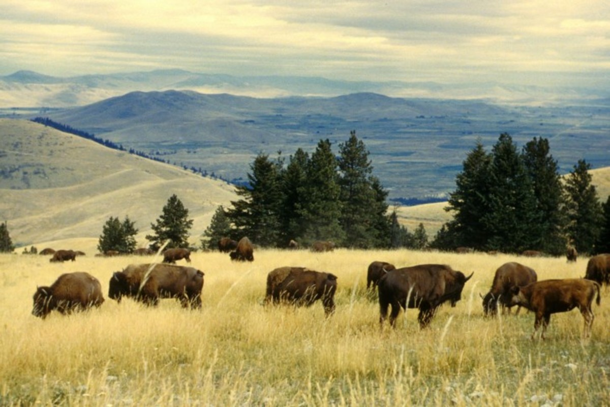 Herd of American Bison or Buffalo grazing.