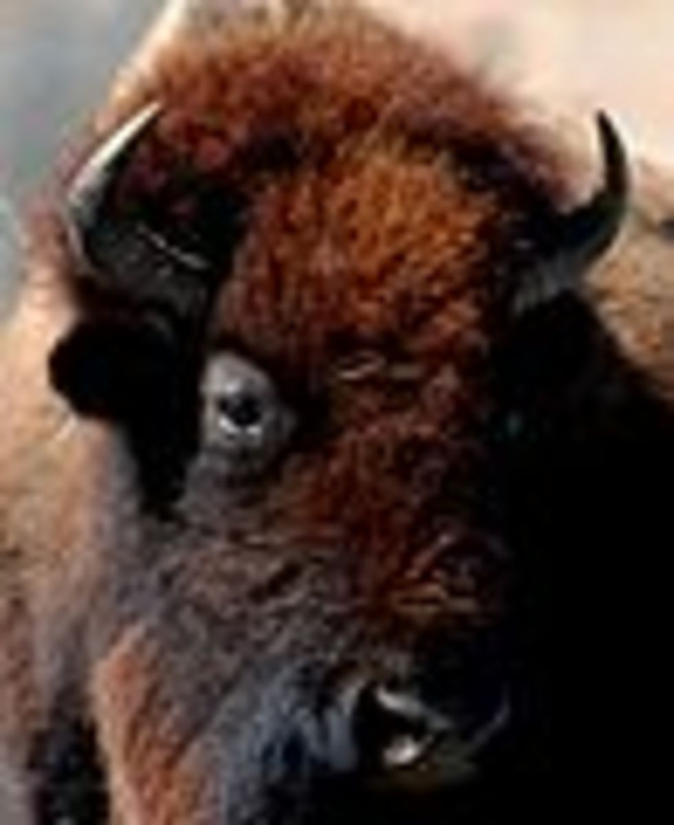 Close Up of Buffalo