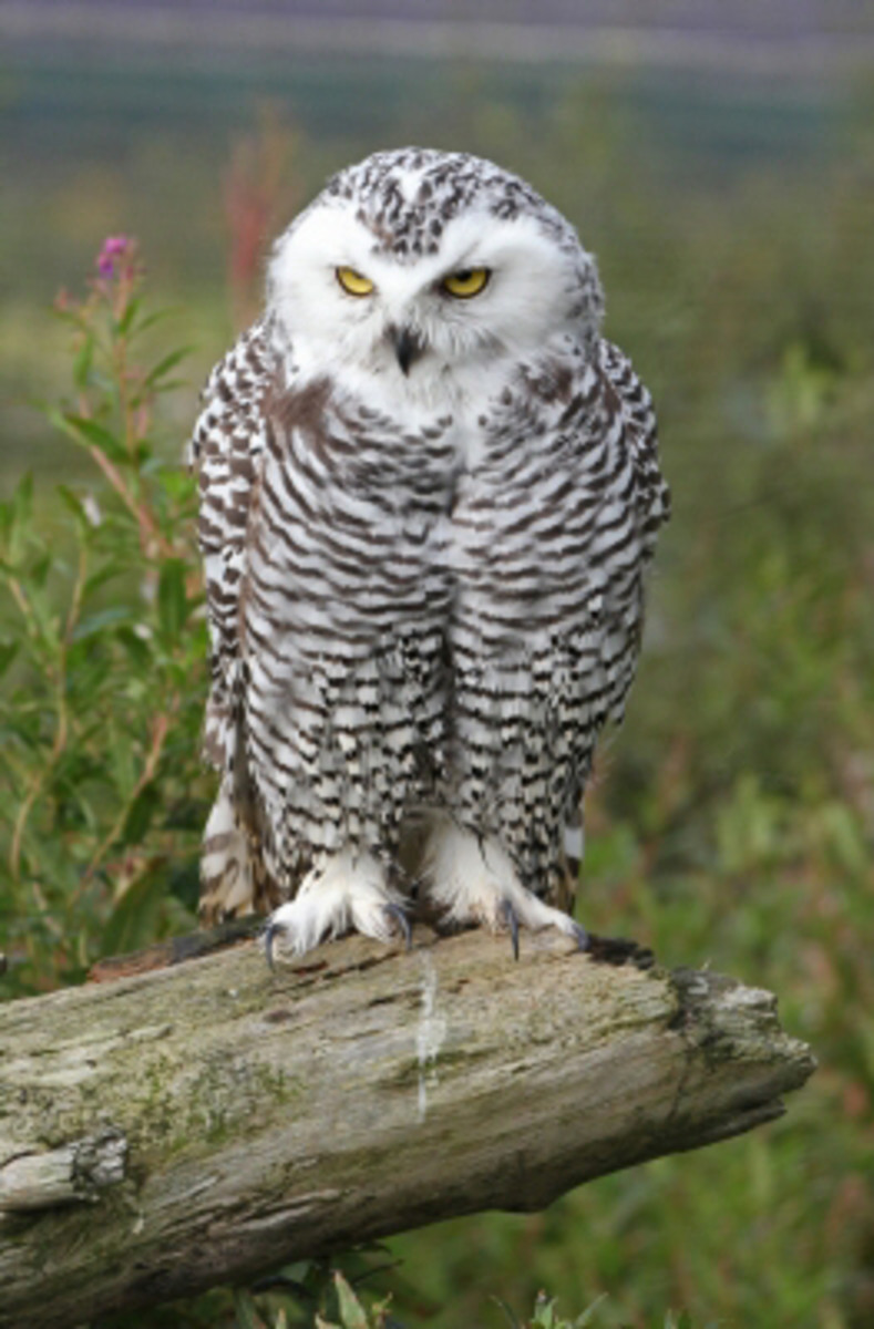 """There are approximately 135 species of Owl throughout the world with 18 of them in North America"""