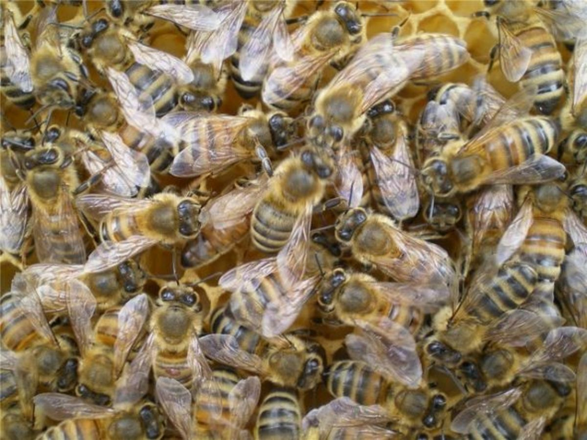 Bees on comb. Photo used here by permission of the photographer.