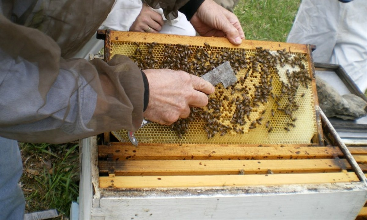 Early Spring Hive Inspection. Photo used here by permission of the photographer.