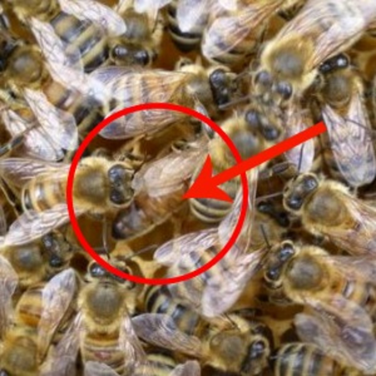 The queen is the bee with a long smooth abdomen, almost hidden by her attendant worker bees...
