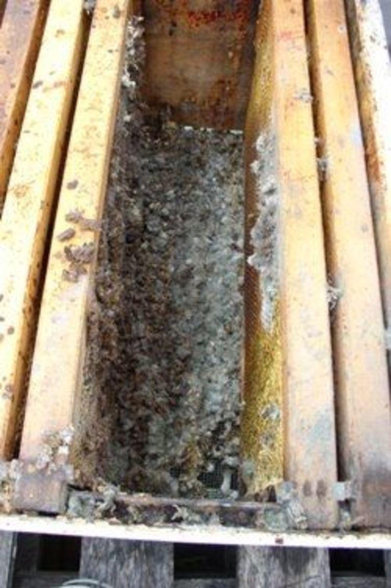 Dead honeybees in open hive - Spring Beekeeping - photo by Flycatcher