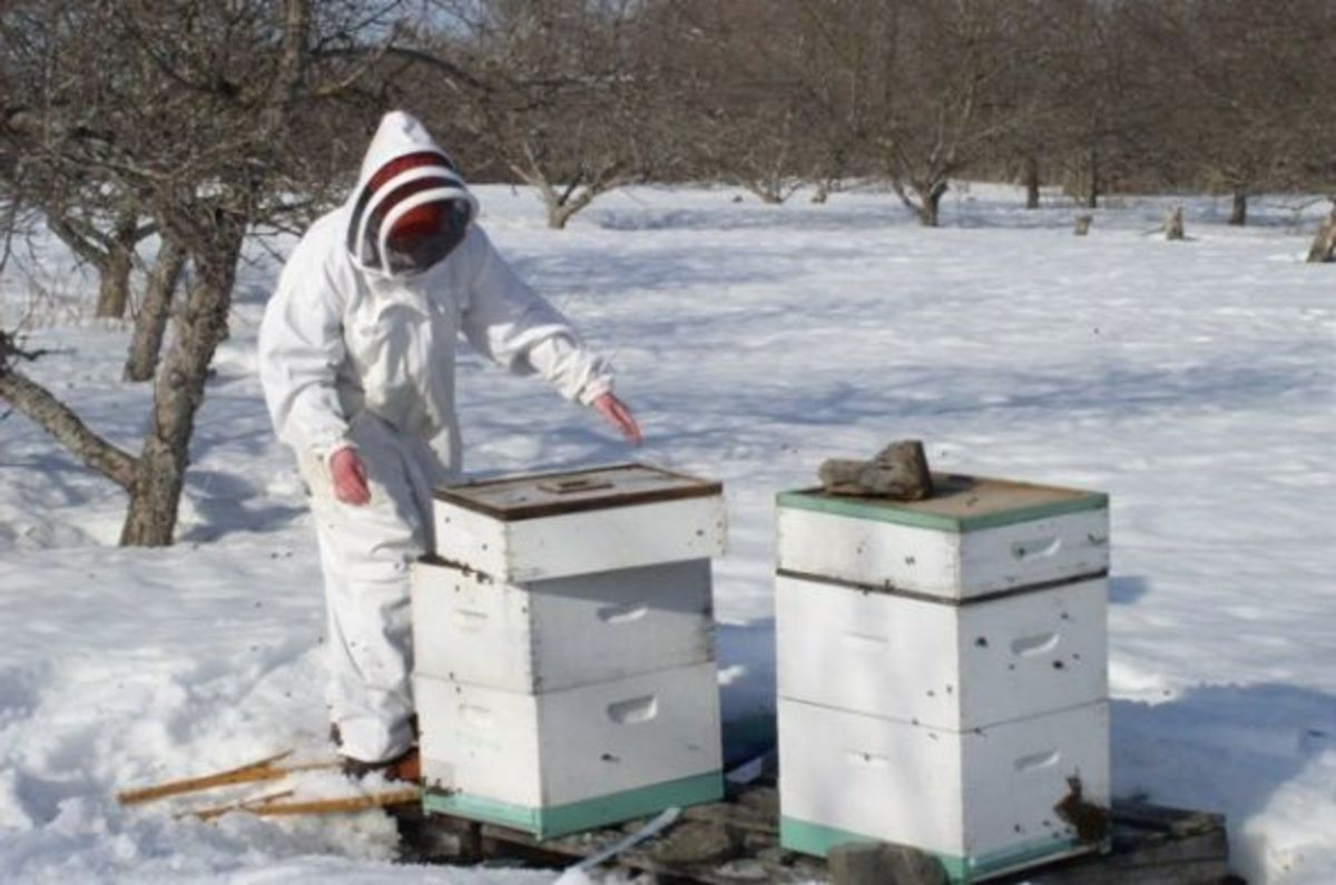 Early Spring Beekeeping... on snowshoes