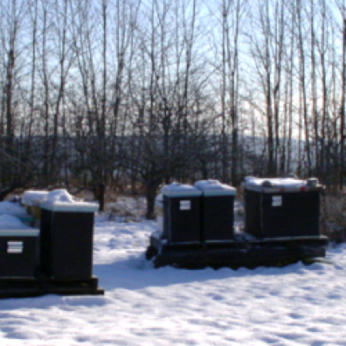 Part of my home apiary in early spring, with bee hives still in winter wraps.