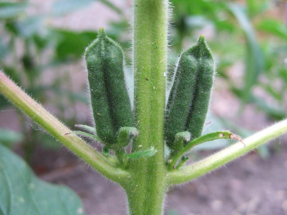 sesame seed pod