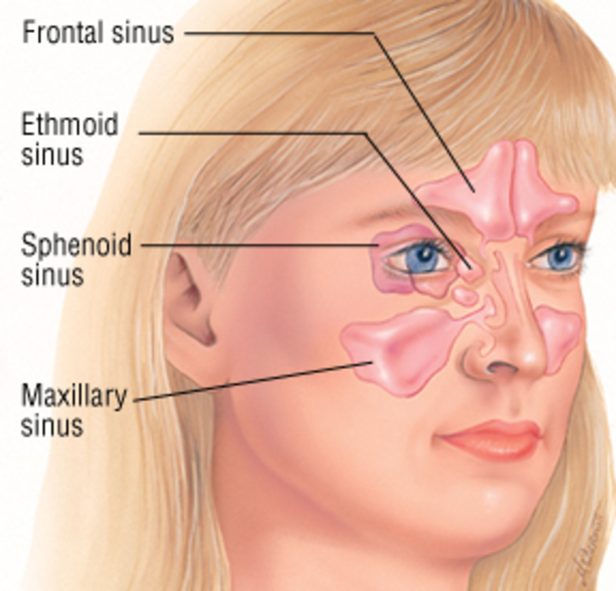 Position of the sinuses