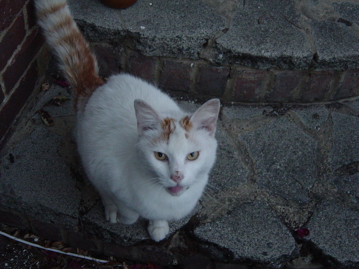 This is Oscar, he has feline HIV but is fit and well and lives with Mr Snow another feline HIV cat