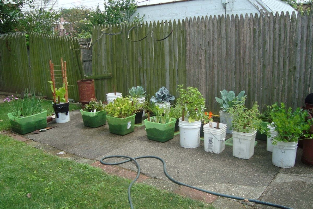 vegetables growing in containers