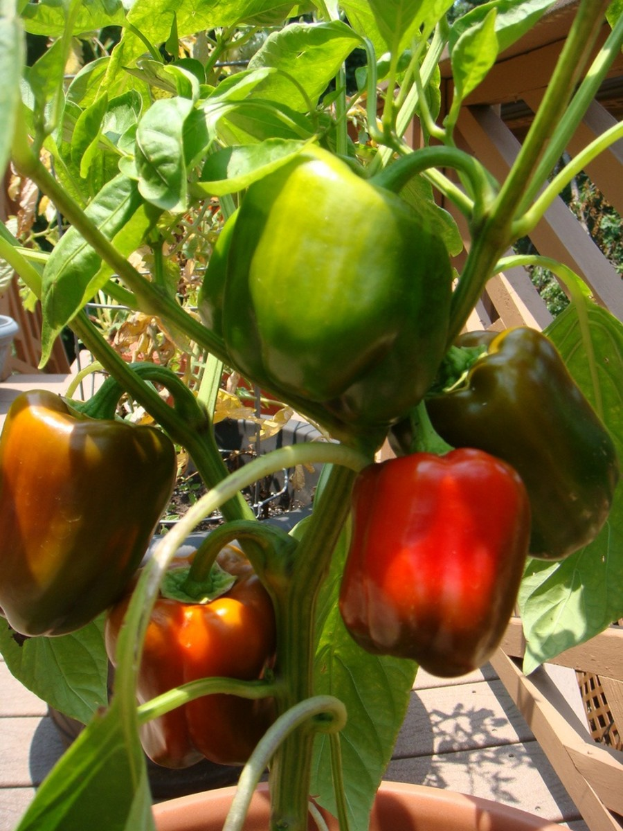 bell peppers growing in containers