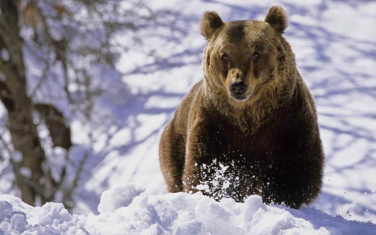 The rare Marsican Bears of Abruzzo in Italy
